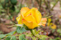 Some orange yellow roses in the garden stock photo Royalty Free Stock Images