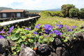 Some purple flowers on a volcanic rock wall. Royalty Free Stock Photo