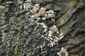 Some seagull nests a set of gull built on volcanic rock in iceland Royalty Free Stock Images