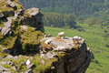 Some sheep in a crag green trees at the background eating Royalty Free Stock Photography
