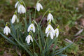Some white snowdrops in spring Royalty Free Stock Photo