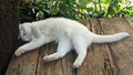 Sommeil blanc de chat persan Photos stock