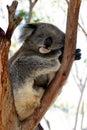 Sommeil de koala Photo stock