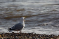 Song Bird. Funny animal meme of seagull screaming at the sea. Royalty Free Stock Photo