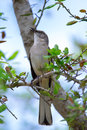 Song bird perched tree limb singing Stock Photography