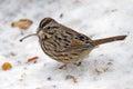 Song Sparrow Stock Photo