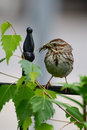 Song sparrow holding bug perched on fence with in beak Stock Photos