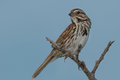 Song sparrow perched on a dead branch Stock Photos