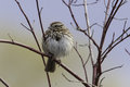 Song sparrow perched in dogwood bush Royalty Free Stock Image