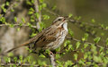 Song sparrow singing isolated melospiza melodia in spring Royalty Free Stock Photos