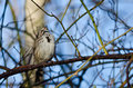 Song sparrow singing its heart out while perched in a tree Royalty Free Stock Images