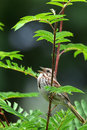 Song sparrow singing perched on birch tree branch Stock Photos