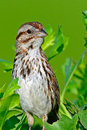 Song sparrow standing on a branch along marsh Stock Images