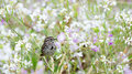 Song sparrow in wild radish a melospiza melodia perches a field of blooming raphanus raphanistrum taken the presidio of san Royalty Free Stock Photography