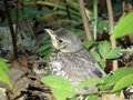 Song thrush bird yang in forest Royalty Free Stock Image