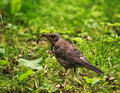 Song Thrush Catch Earthworm Stock Images