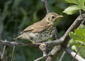 Song thrush chick. Stock Photo