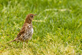 Song Thrush foraging in green grass Royalty Free Stock Photos