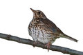 Song Thrush isolated Royalty Free Stock Photos