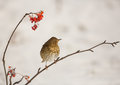 Song Thrush with Rowan berries Stock Images