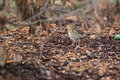 Song thrush the standing on the soil Royalty Free Stock Images