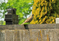 Song thrush on the tombstone Royalty Free Stock Photo