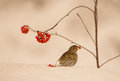 A song thrush turdus philomelas feeds on rowan berries standing in deep snow Stock Photos