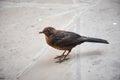 Songbird on the street of london uk Stock Photography