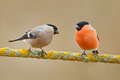 Songbirds, male and female. Red bird Bullfinch sitting on yellow lichen branch, Sumava, Czech republic. Wildlife scene from nature