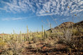 Sonoaran desert landscape a vast forest of saguaro cacti spread across the under a spring sky Royalty Free Stock Photo