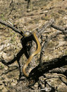 Sonora Desert Whipsnake Royalty Free Stock Photo