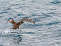 Sooty Shearwater water walking Royalty Free Stock Photo