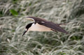 Sooty tern lord howe island australia a coming in to land at blinky beach on Royalty Free Stock Images