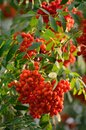 Sorbus aucuparia ashberry rowan tree mountain ash S. sorb service shrub, red ripe fruits, leaves, bright vertical sunny rowanberry Royalty Free Stock Photo