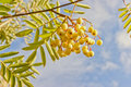 Sorbus rowan Joseph Rock in autumn. Royalty Free Stock Photo