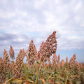 Sorghum  in autumn Stock Photos