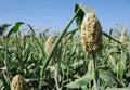 Sorghum crop Royalty Free Stock Photo