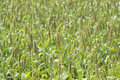 Sorghum Crop Field Royalty Free Stock Photo