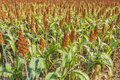 sorghum Royalty Free Stock Photo