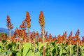 Sorghum. Royalty Free Stock Photo