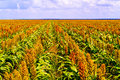 Sorghum plants fields in Botswana Royalty Free Stock Photo