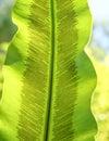 Sori of Asplenium nidus Royalty Free Stock Photo
