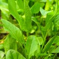 Sorrel in the garden a close up leaves Royalty Free Stock Photo