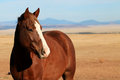 Sorrel horse with white blaze standing on the prairie great plains of the american midwest and mountain range in background Stock Images