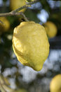 Sorrento's lemons Royalty Free Stock Photos