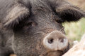 Sorrowful swine sad and lonely pig who just lost her mate on a small farm Stock Photo