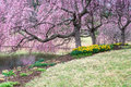 Sotto cherry blossoms a virginia park Fotografia Stock