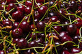 Sour cherries Stock Image