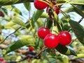 Sour cherries Stock Photography