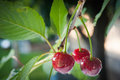 Sour cherries on the branch Stock Photography